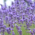 Munstead True Lavender Lavandula angustifolia - 100 Seeds