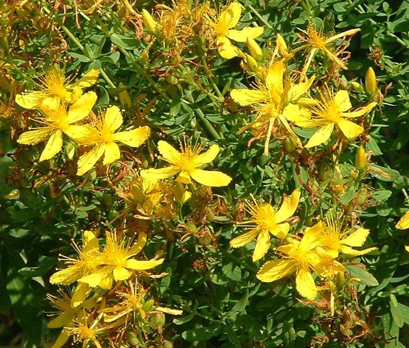 Hardy Organic Herb Perforate St. John's Wort Hybericum perforatum - 200 Seeds