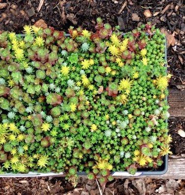 Mixed Wall Carpet Stonecrop Sedum sp.- 100 Seeds