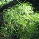 True Egyptian Paper Plant Rare Cyperus papyrus - 30 Seeds