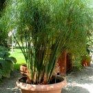 True Paper Plant Rare Egyptian Cyperus papyrus - 30 Seeds