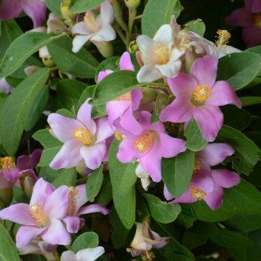 Norfolk Island Hibiscus Lagunaria patersonia - 5 Seeds