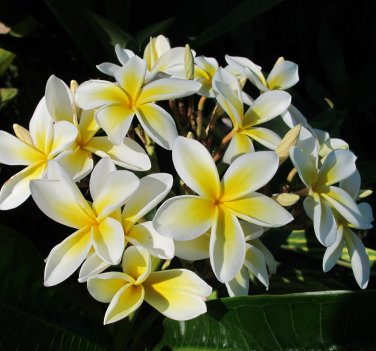 Hawaii Oahu Maui Kauai Molokai Lanai Frangipani - 5 Seeds