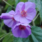 Rare Blue Flowering Maple Abutilon vitifolium - 15 Seeds