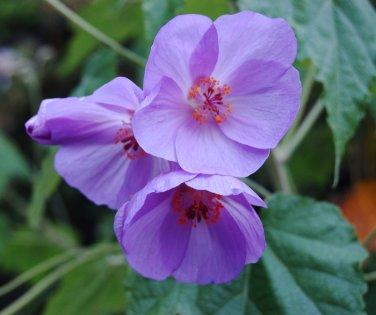 Rare Blue Flowering Maple Abutilon vitifolium - 15 Seeds