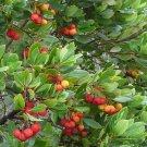 Hardy Irish Strawberry Tree Arbutus unedo - 15 Seeds