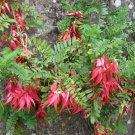 Red Lobster Claw Kowhai Ngutu Kaka Beak Clianthus puniceus Rosea - 5 Seeds