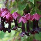 Purple Bell Vine Rhodochiton atrosanguineum Rare - 8 Seeds