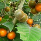 Rare Exotic Quito Orange Naranjilla Lulo Solanum Quitoense - 15 Seeds