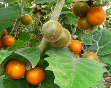 Rare Exotic Quito Orange Naranjilla Lulo Solanum Quitoense - 15 Seeds