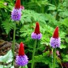 Rare Unusual Vial's Primrose Primula vialii - 25 Seeds