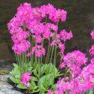 Himalayan Pink Pond Primrose Primula Rosea Grandiflora - 20 Seeds