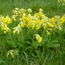 Yellow Cowslip Primrose Primula veris officinalis - 40 Seeds