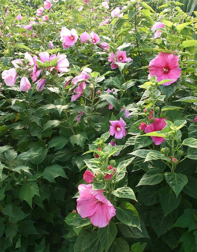 Pink Hibiscus Swamp Rose Hardy Hibiscus Moscheutos 20 Seeds