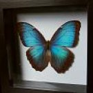 Real Blue Morpho Butterfly in Shadow Box!!!