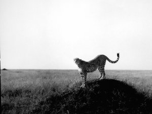 "Black & White Original Gallery Print * CHEETAH * 20"" x 25"" Rare 1995 Mint"