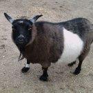 Goat 4X6