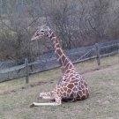 Giraffe 8X10