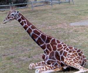 Giraffe I 8X10