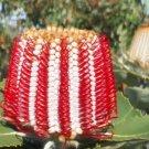 Banksia coccinea SCARLET BANKSIA