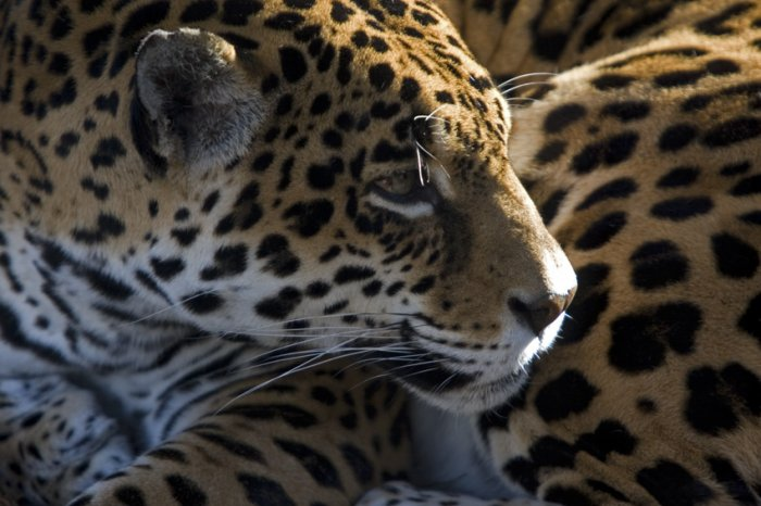 Jaguar in the Light