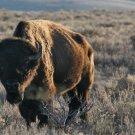 Jackson Hole Bison