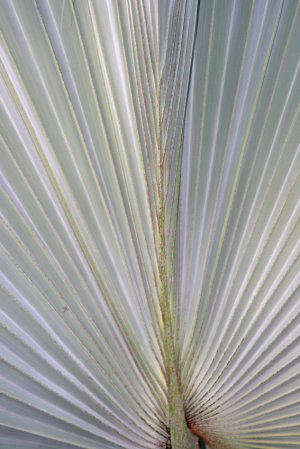 Palm Rays