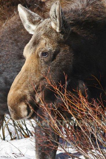 "Snowy Moose Portrait - 20""x 30"" Signed Print"