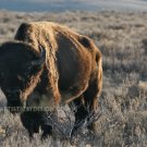 "Jackson Hole Bison - 20""x 30"" Signed Print"