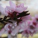 """Peach Blossom - 20""""x 30"""" Signed Print"""