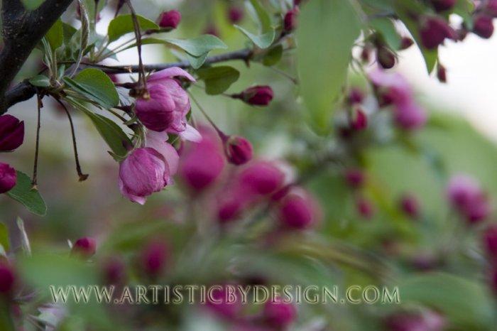 Springtime Crabapple Blossoms