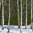 "Snowy Aspen Grove - 10""x 30"" Signed Print"