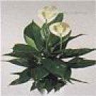Spatiphylum Orta - Barış Çiçeği
