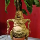 Harry Potter Mandrake Replica Prop SUPER RARE