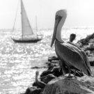 """'Pelican' 8"""" x 12"""" print"""