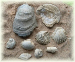 Collection of Cretaceous Fossils From  Alabama