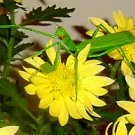 Amazingly lifelike praying mantis