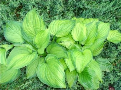 **HOSTA ** 'Guacamole'     EASY TO GROW