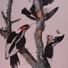 Audubon Print Ivory-Billed Woodpecker