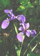 "Irises**8""x10"" Matted Original Photo"