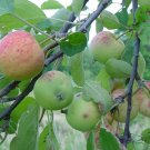 """Just Apples**8""""x10"""" Matted Original Photo"""
