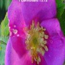 Pink Wild Flower***Biblical/1 Corith. 13:13