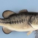 "20"" Largemouth Bass 6lb. reproduction fish mount/Taxidermy/Fishing/Hunting"