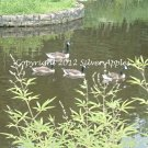 "Canada Geese At Bernheim 5"" X 7"""