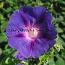 "Blue Morning Glory 8"" X 10"""