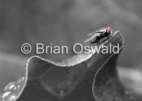 Fly Leaf 02 Selective Color - 5x7