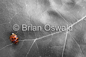 Lady Bug Leaf Selective Color - 5x7