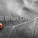 Lady Bug Leaf Selective Color - 8x10
