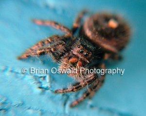 Cute Fuzzy Spider - 5x7