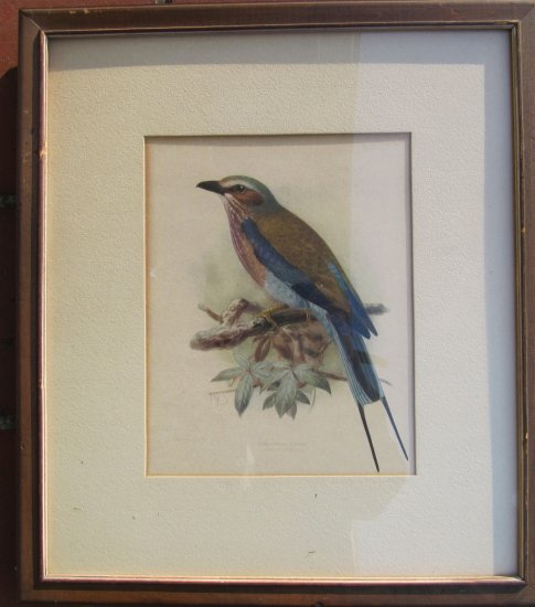 Keulemans Antique Lithograph Art Longtailed Roller Bird C 1880s Initials